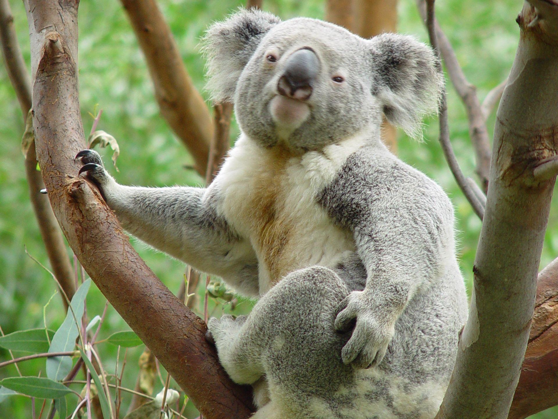 Cute And Funny Baby Koala Wallpaper Koala Wallpapers Wallpaper Cave