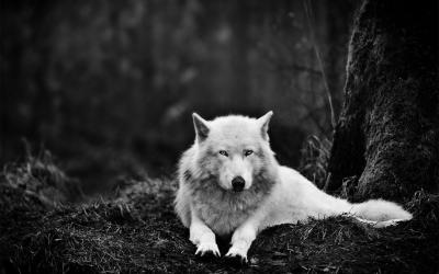wolf wallpapers wolves hd thrones game snow forest grey wolfs eyes down got versus