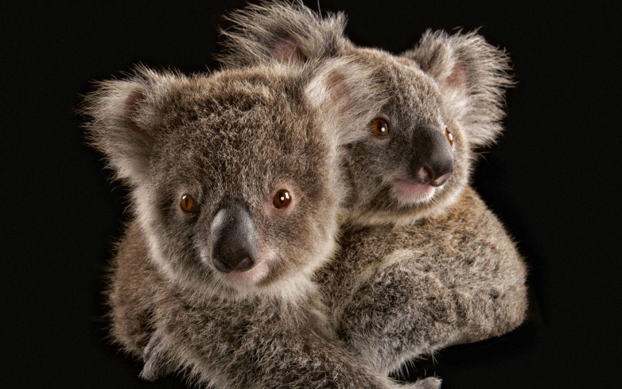 Cute Koala Hd Wallpaper Koala Wallpapers Wallpaper Cave
