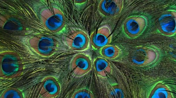 Desktop Peacock Feather