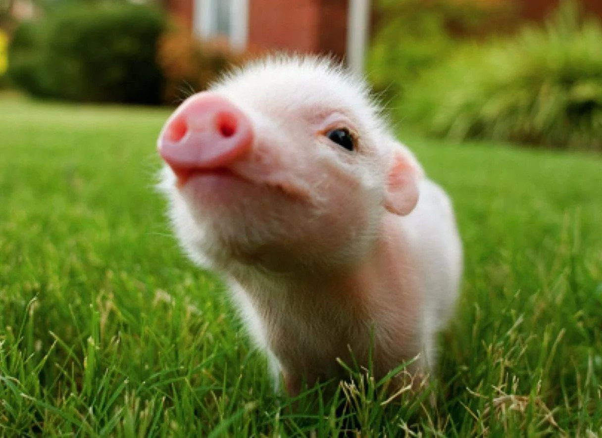 baby pigs wallpapers wallpaper