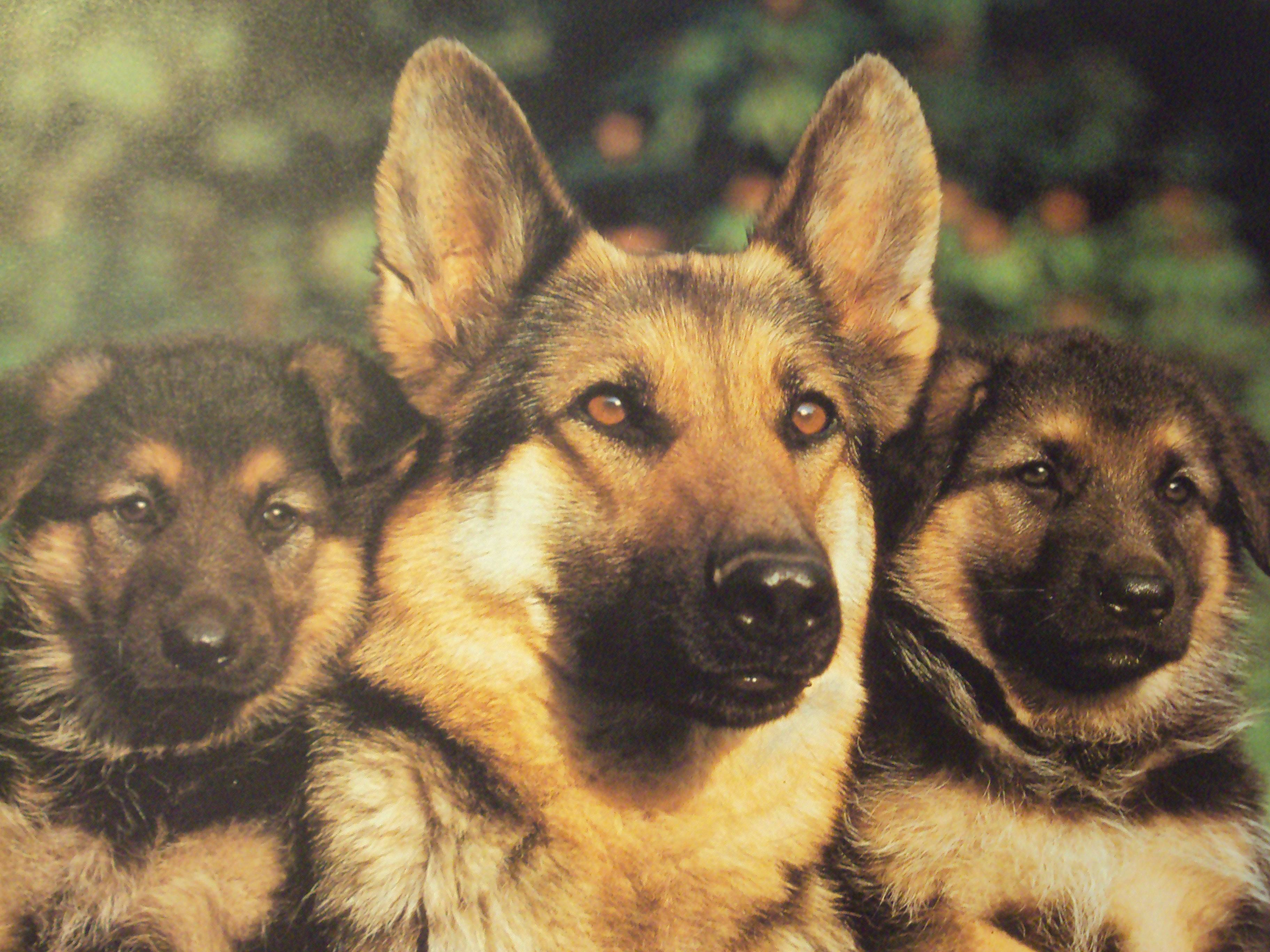 Pitbulls Fall Wallpaper Dog German Shepherd Wallpapers Wallpaper Cave