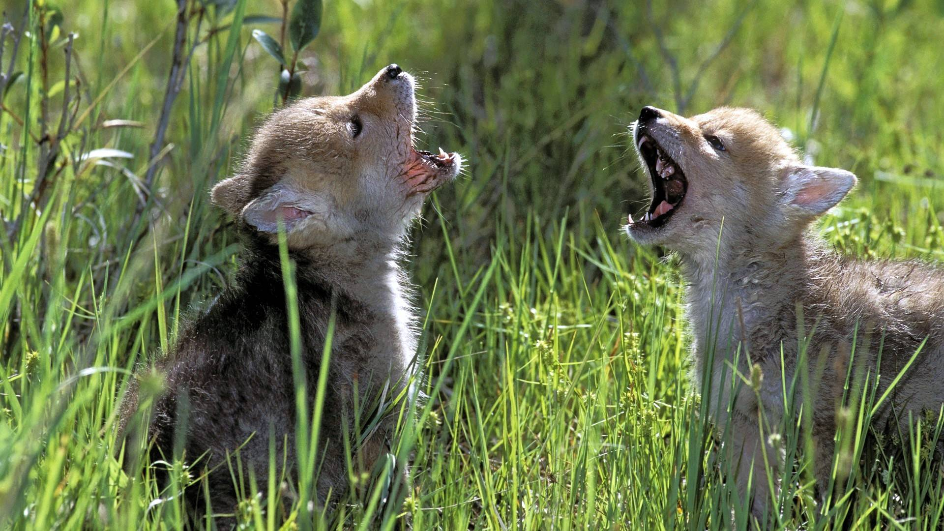 Cute Mother And Baby Wallpapers Baby Wolves Wallpapers Wallpaper Cave