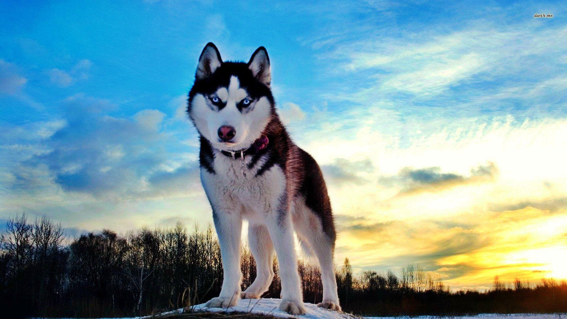 Cute Husky Puppies With Blue Eyes Wallpaper Baby Husky Wallpapers Wallpaper Cave
