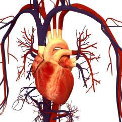 Realistic Heart Diagram For 5 Gum Human Wallpapers Wallpaper Cave