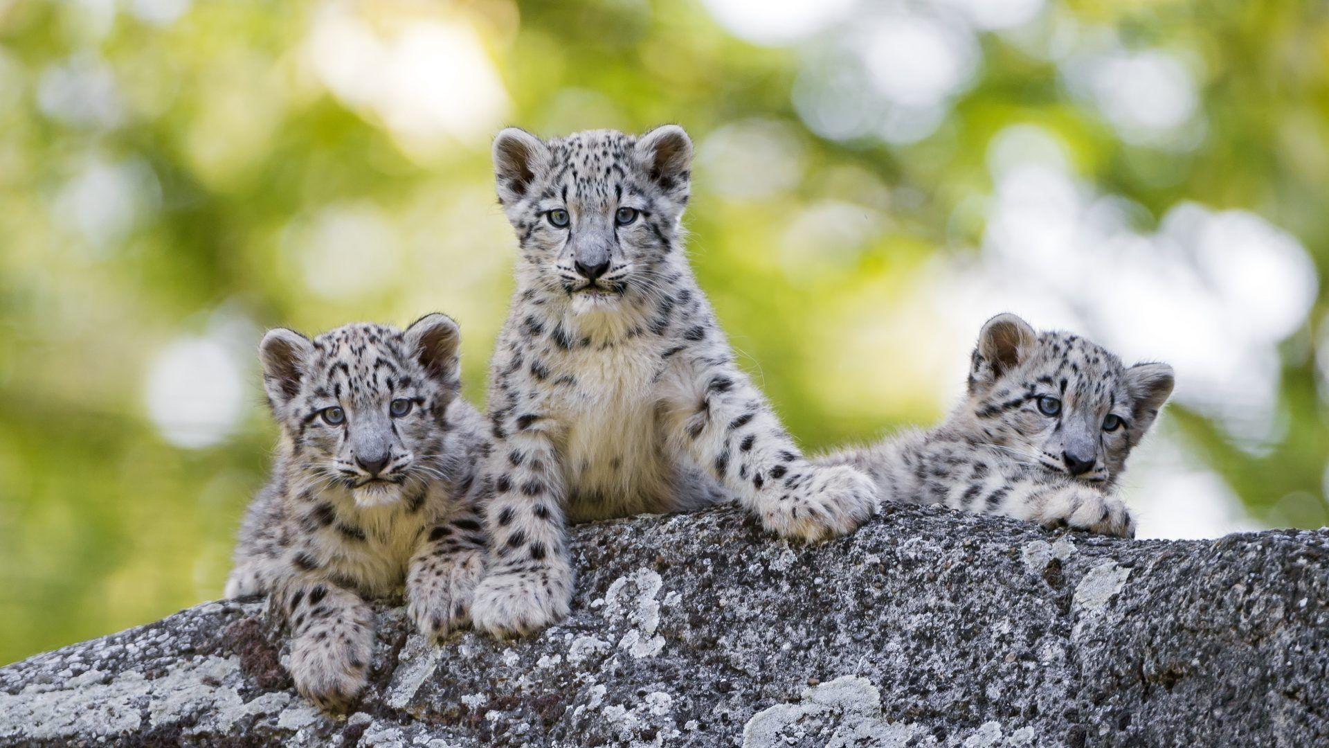 Cute Yoda Wallpaper Baby Snow Leopard Wallpapers Wallpaper Cave