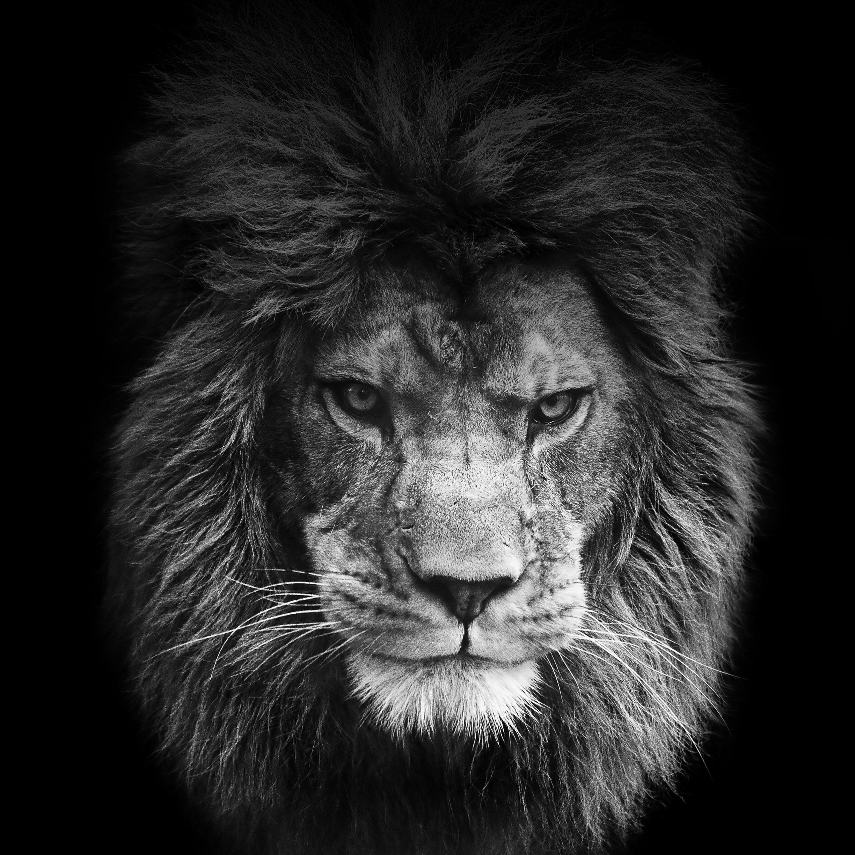 wallpapers black lion wallpaper