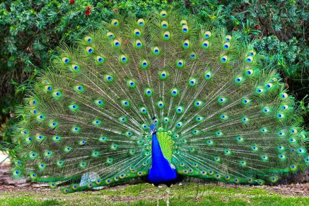 Burung Merak Wallpapers HD - Wallpaper Cave