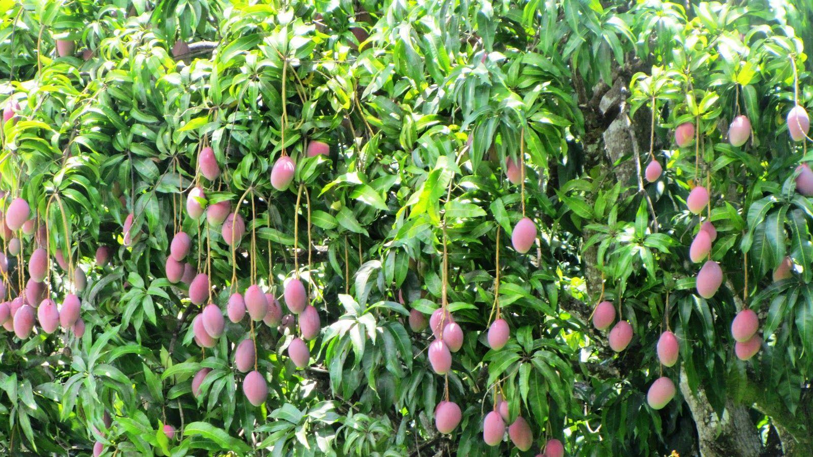 определённом расстоянии манговое дерево фото где растет событие вызвало