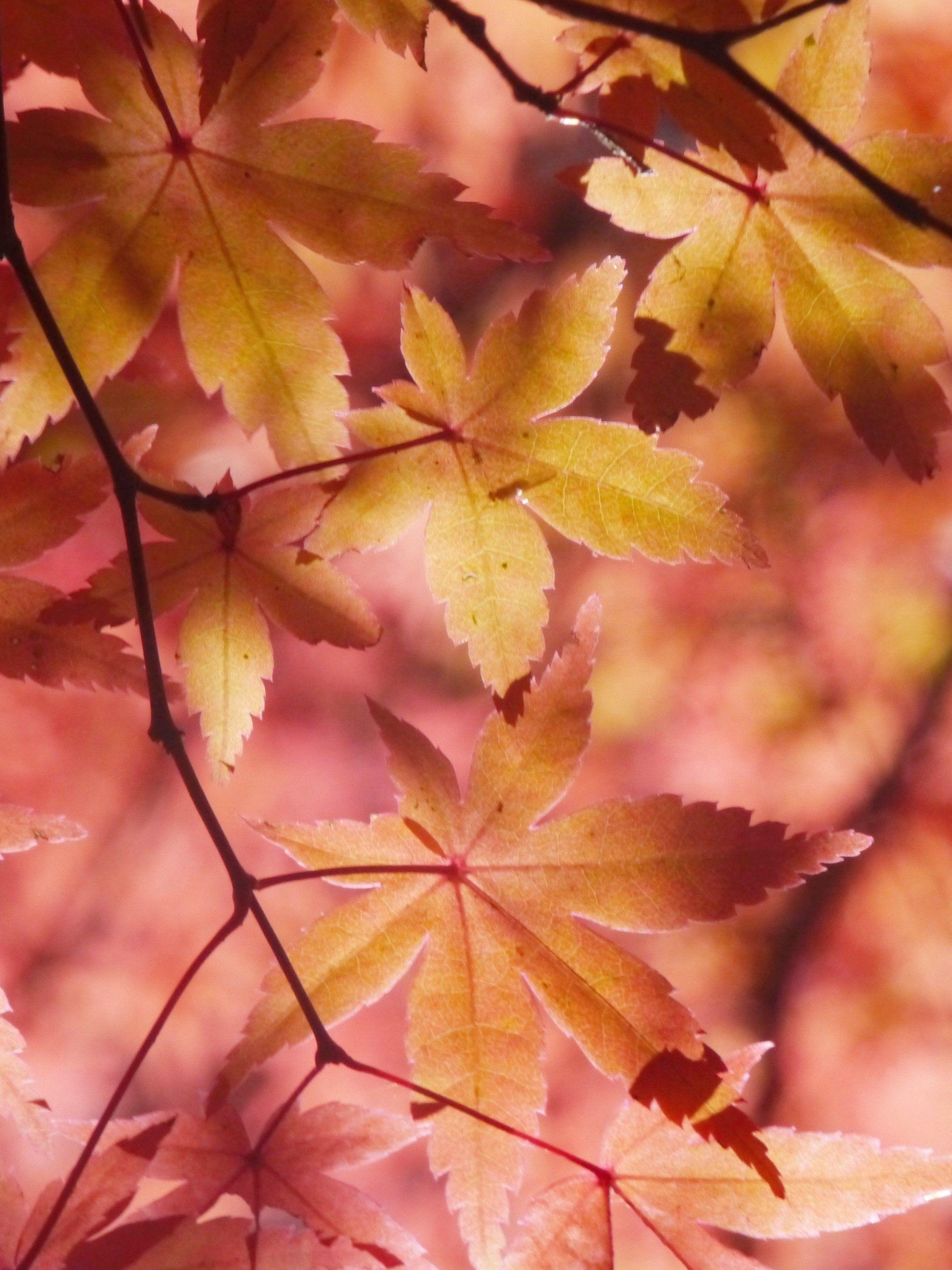 Fall Leaf Wallpaper For Mobile Fall Leaf Wallpapers For Mobile Wallpaper Cave