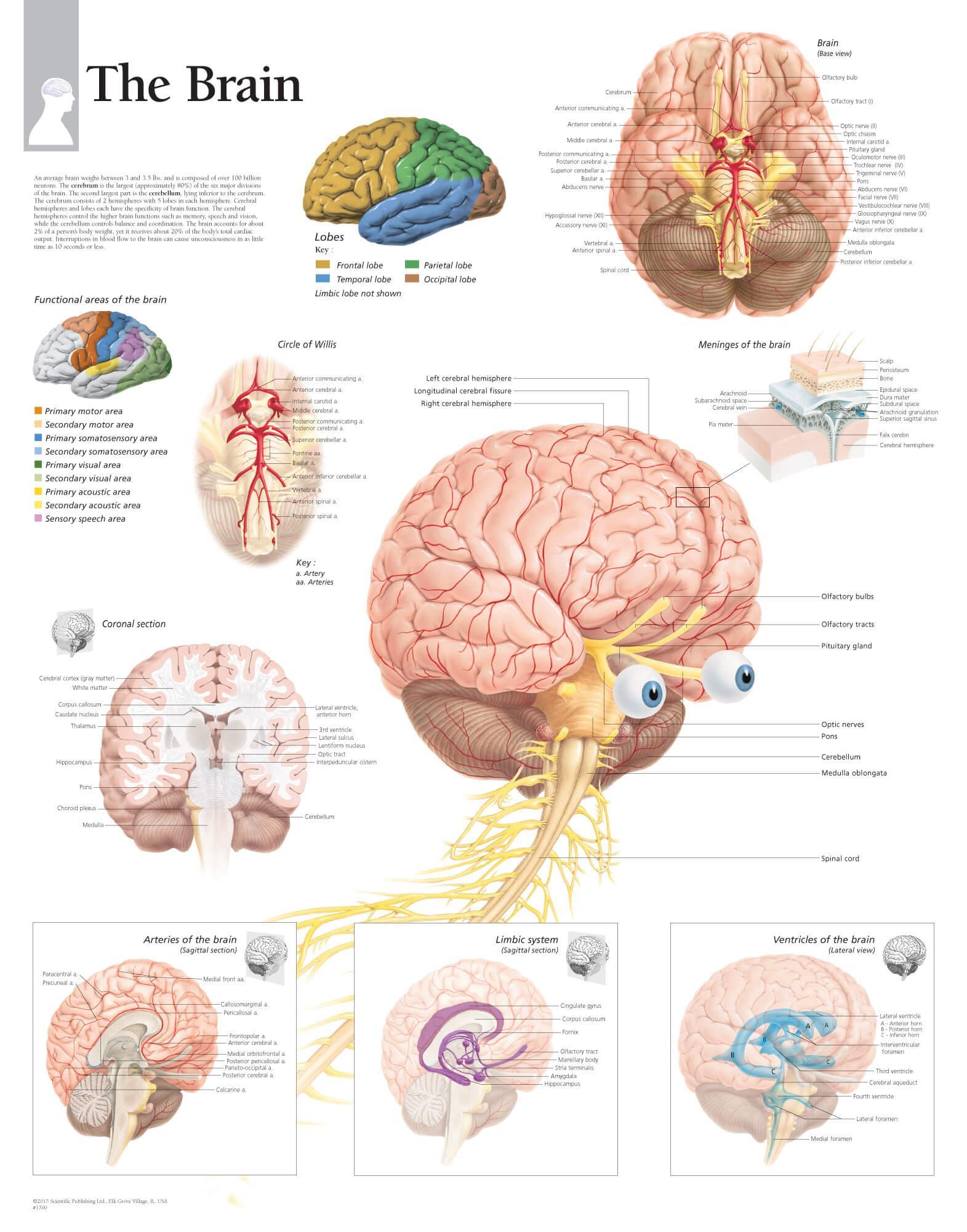 Brain Anatomy Wallpapers