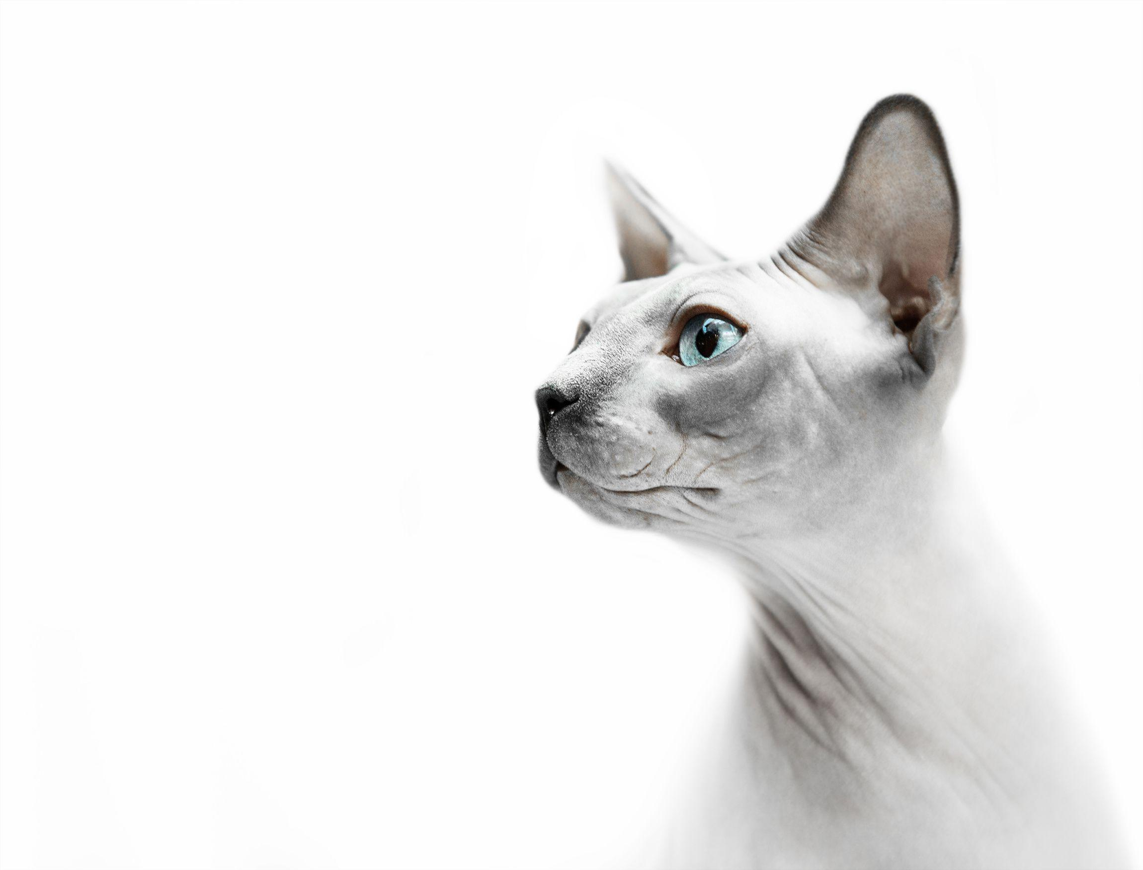Cute Cat Computer Wallpaper Sphynx Kittens Wallpapers Wallpaper Cave