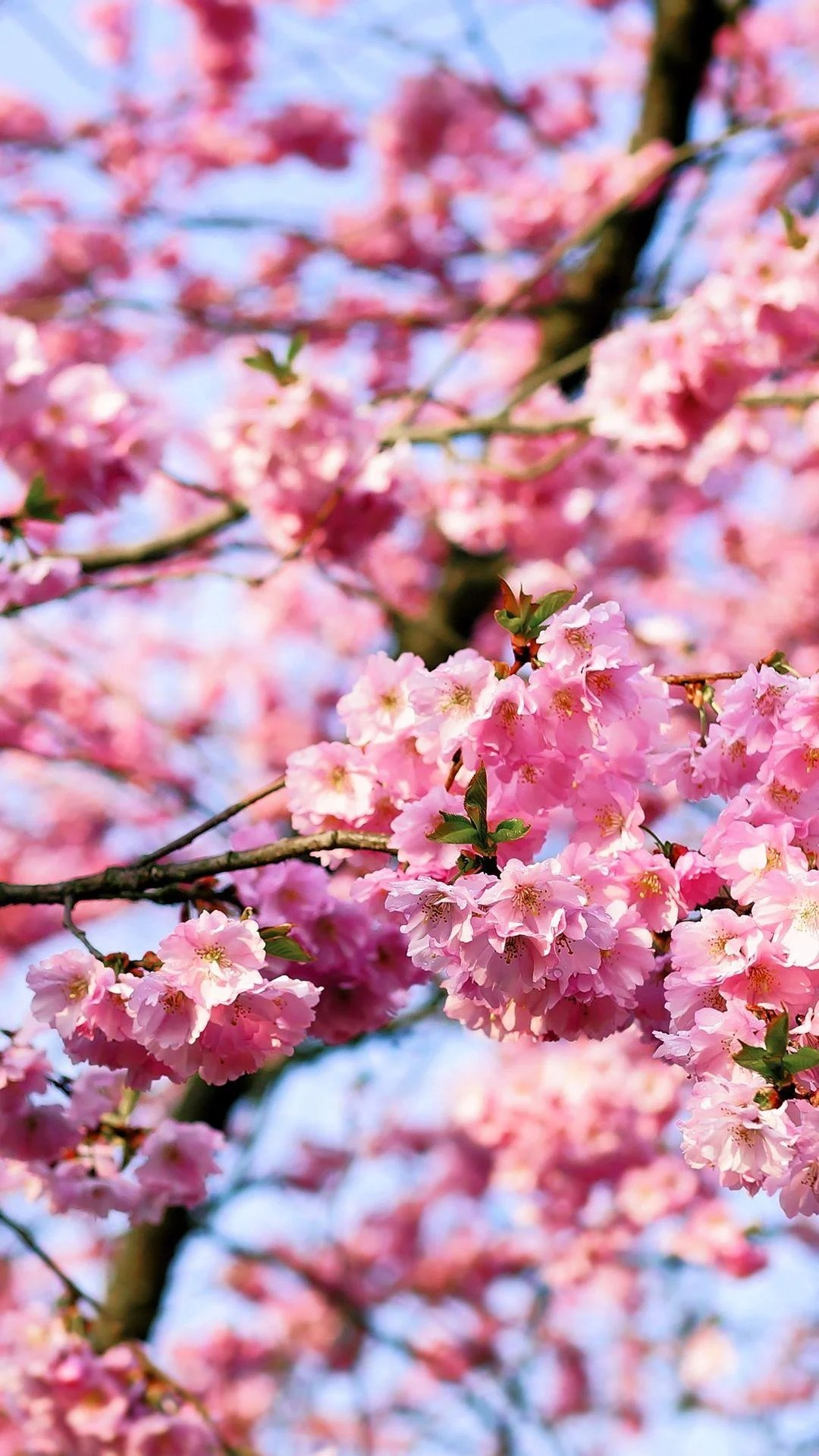 Cherry Blossom Android Wallpapers Wallpaper Cave