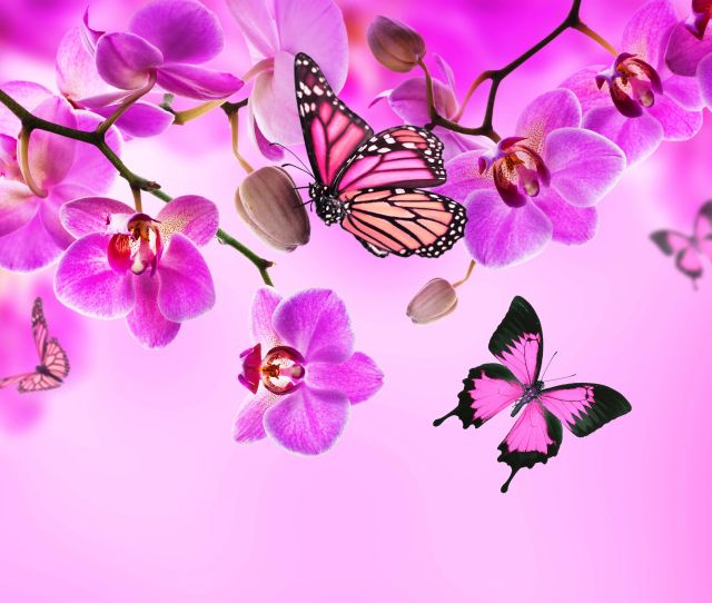 Pink Butterfly Wallpapers Picture For Desktop Wallpaper