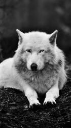 Iphone Dark Alpha Wolf Wolf Wallpaper