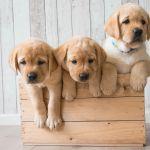 Golden Retriever Puppy Wallpapers Wallpaper Cave