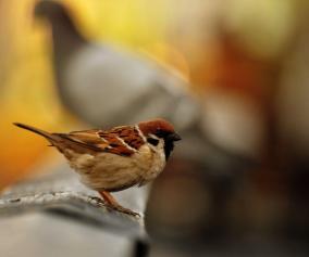 Sparrow Wallpapers Wallpaper Cave