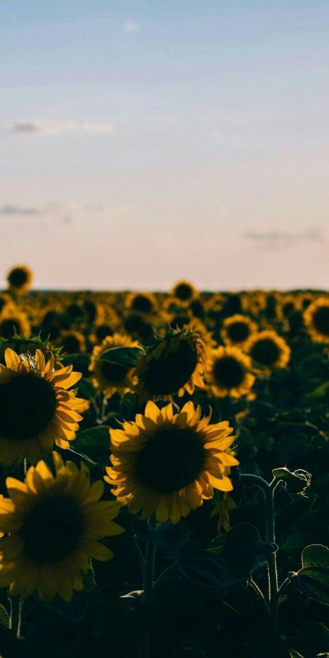 Sunflower Tumblr Background : sunflower, tumblr, background, Aesthetic, Sunflower, Wallpapers, Wallpaper