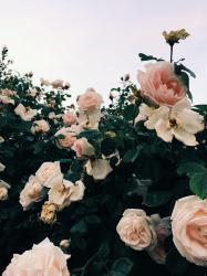 aesthetic roses pink wallpapers light flowers garden pastel flores insta rosas wild follow glossier cave instagram visitar