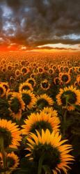 sunflower iphone field wallpapers backgrounds hd galaxy sunflowers android nature flower resolution roses chaud xr xs 4k s8 samsung note