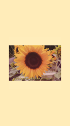 hoe wallpapers aesthetic sunflower pastel yellow iphone backgrounds cute bloom phone uploaded user discover pretty