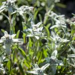 Edelweiss Wallpapers Wallpaper Cave