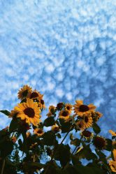 aesthetic sunflower wallpapers hd iphone