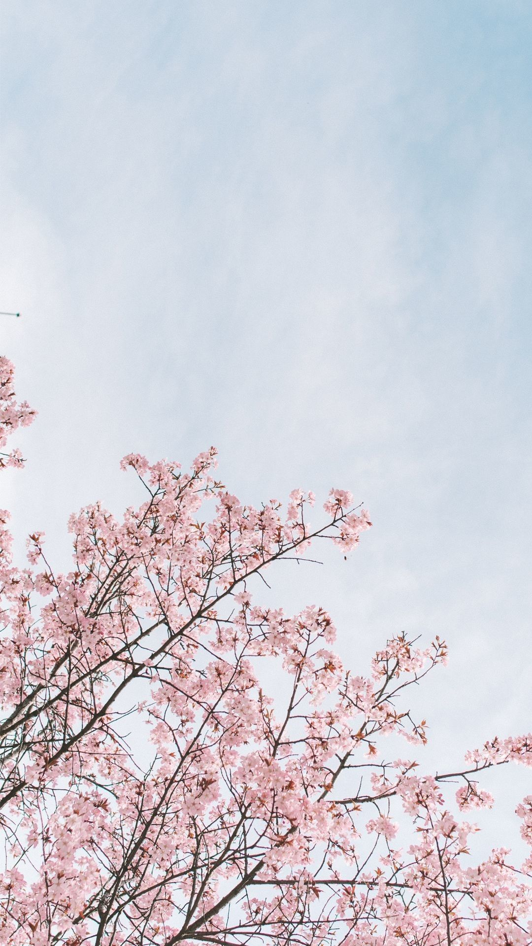 Cherry Blossom Anime Aesthetic Wallpapers Wallpaper Cave