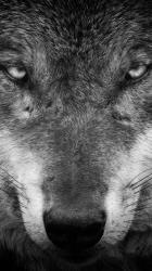 Wolf Smartphone Eye Wallpapers Wallpaper Cave