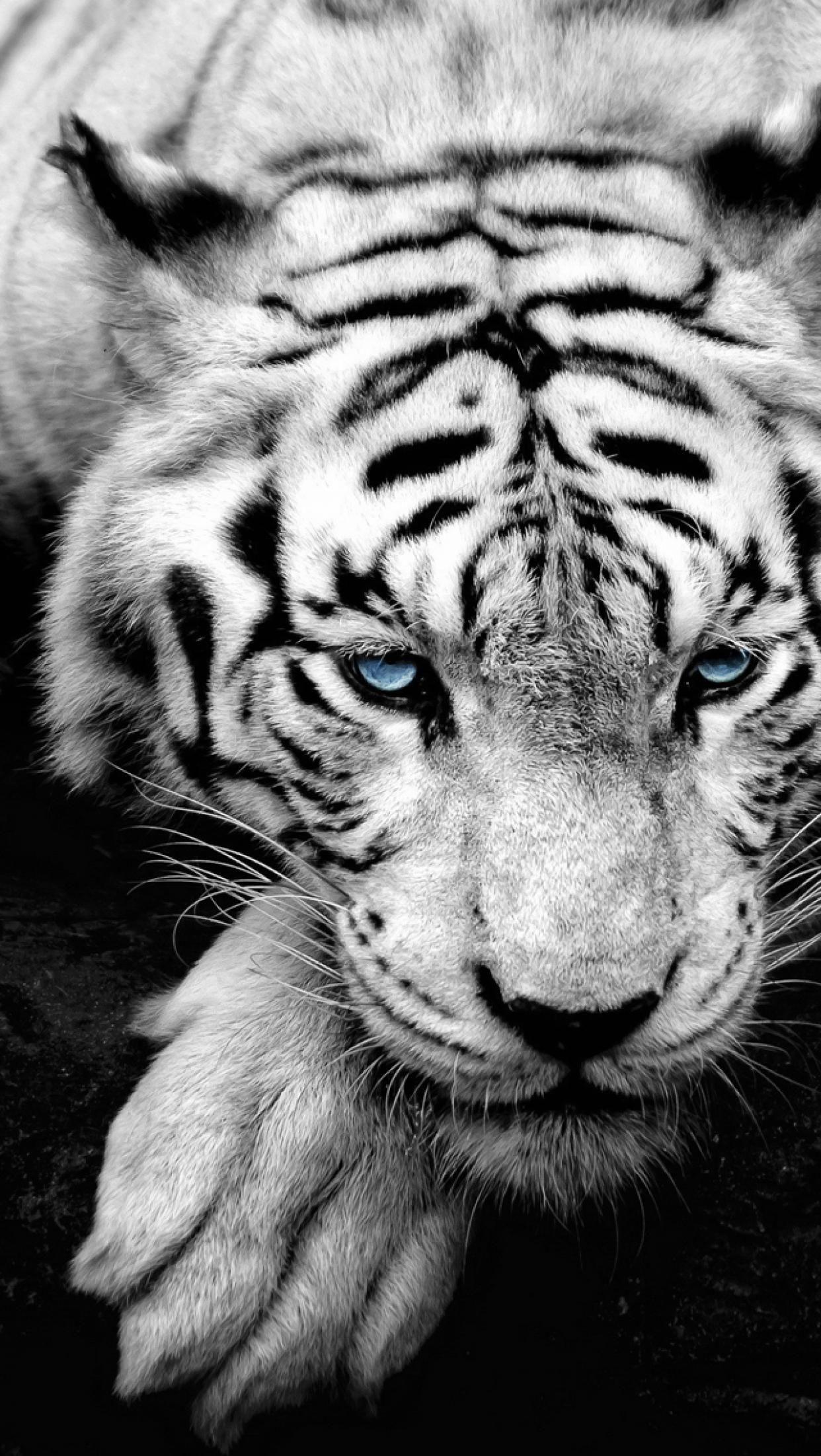Gambar Harimau Putih : gambar, harimau, putih, IPhone, Harimau, Wallpapers, Wallpaper