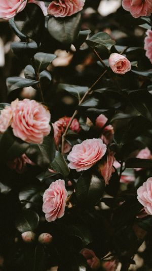 aesthetic rose roses pink wallpapers flowers background flower phone pretty iphone plant wallpapercave unsplash myfavwallpaper