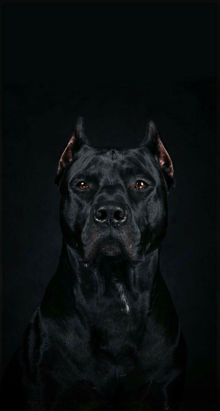 Pitbull Panther : pitbull, panther, Black, Pitbull, Wallpapers, Wallpaper