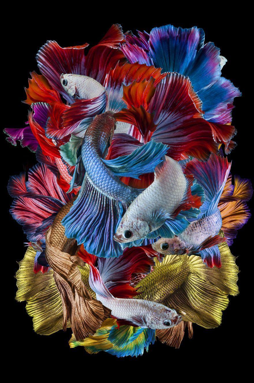 Wallpaper Ikan Hias : wallpaper, Cupang, Wallpapers, Wallpaper