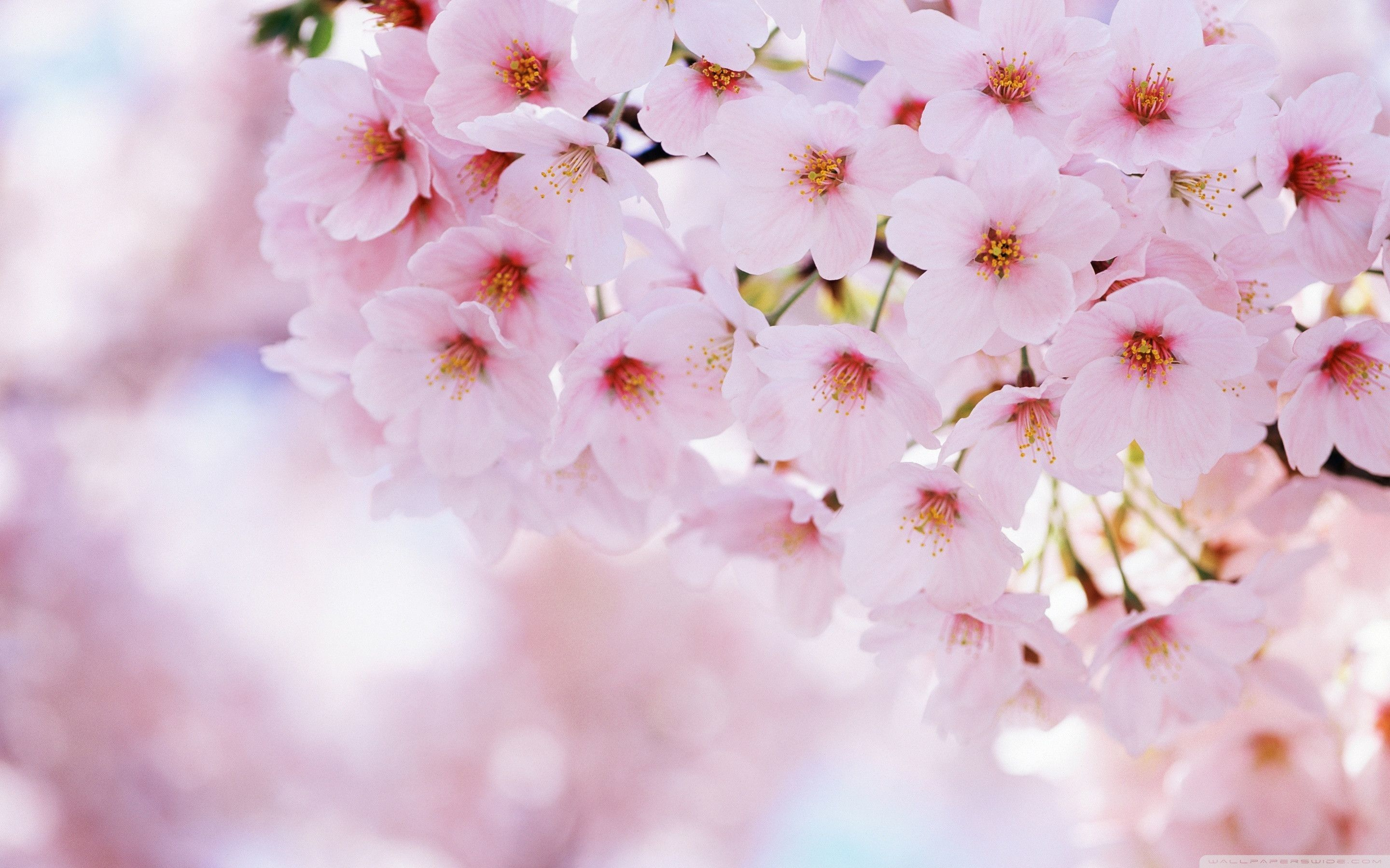 Hd wallpapers and background images. Aesthetic Cherry Blossom Landscape Wallpapers - Wallpaper Cave