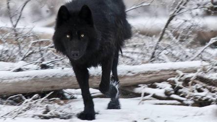 Wallpaper Dark Wolf 2