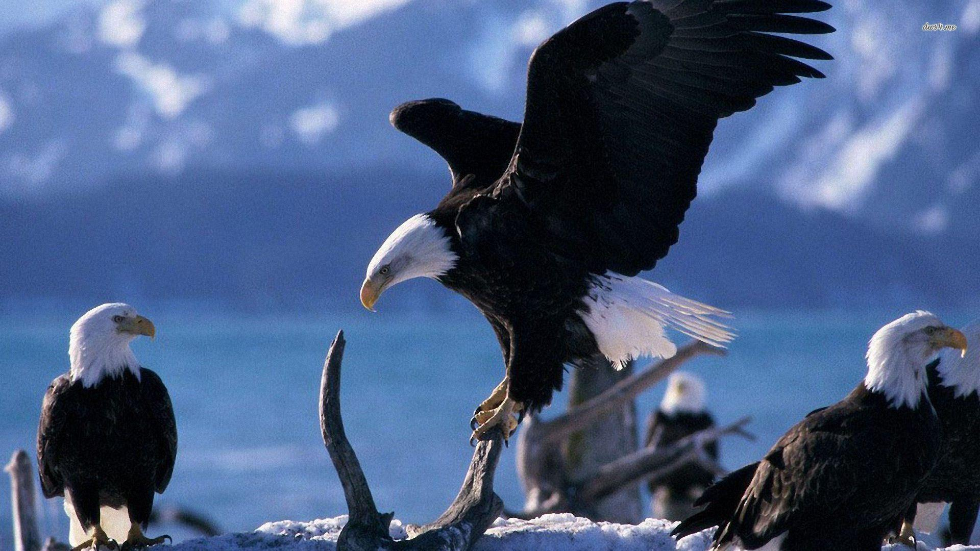 American Bald Eagle Wallpapers