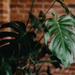Green Leaves Of Monstera Plant Growing At Home Wallpaper Interior Leaf Wallpaper For You Hd Wallpaper For Desktop Mobile
