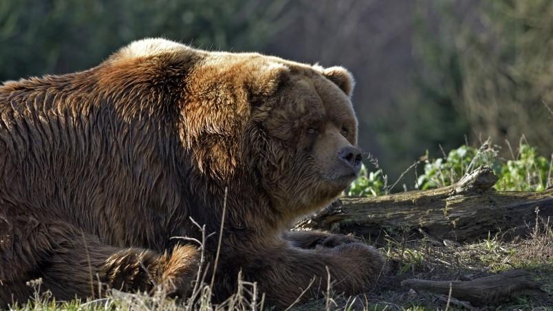 Natural Falls Wallpaper Free Download Huge Brown Bear Hd Wallpaper Wallpaperfx
