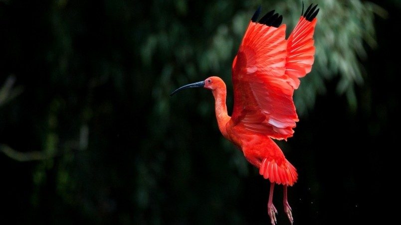 320x480 Animated Wallpapers Red Ibis Bird Flying Hd Wallpaper Wallpaperfx
