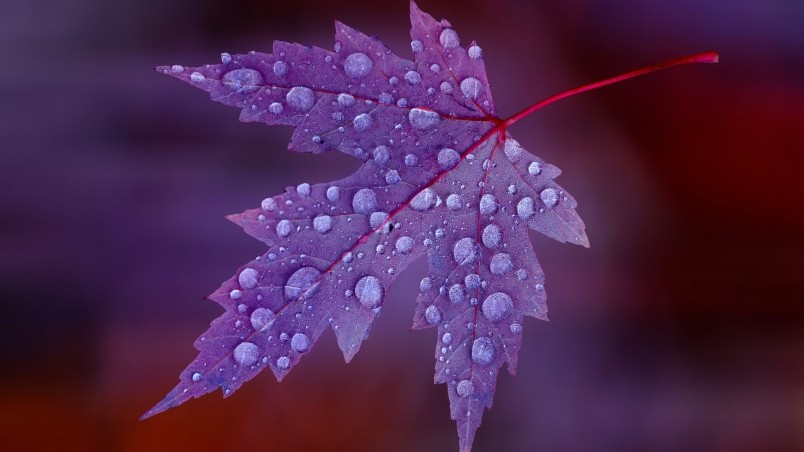 3d Leaves And Water Drop Wallpaper Water Drops On Purple Leaf Hd Wallpaper Wallpaperfx