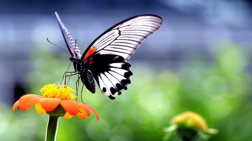 Free 3d Butterfly Desktop Wallpaper Beautiful Butterfly On Orange Flower Hd Wallpaper