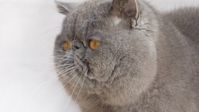 Cute Cat Computer Wallpaper Exotic Shorthair Cat Hd Wallpaper Wallpaperfx