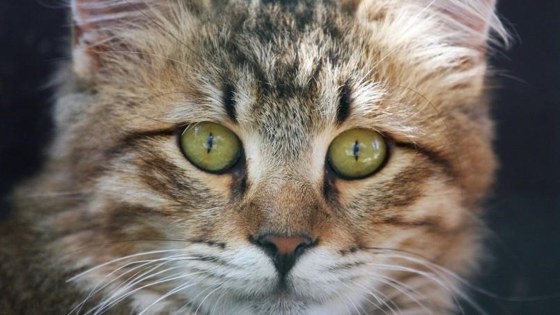 Cute Ipad Wallpaper Pinterest American Bobtail Cat Face Hd Wallpaper Wallpaperfx