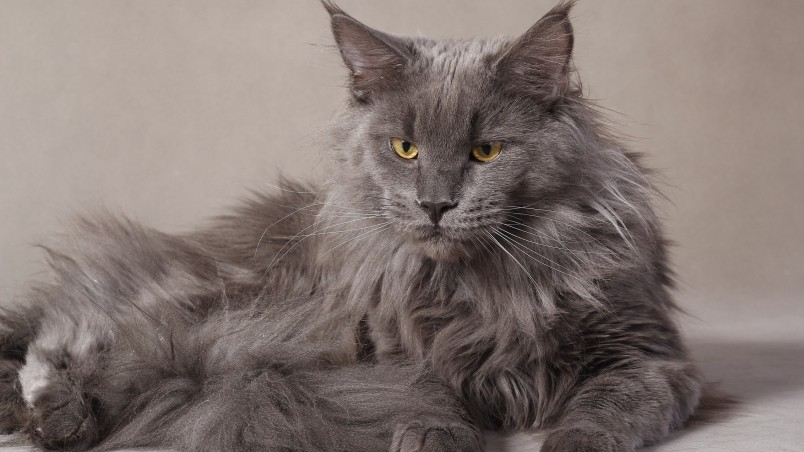 Cars So Cool Wallpaper For Computer Gray Maine Coon Cat Hd Wallpaper Wallpaperfx