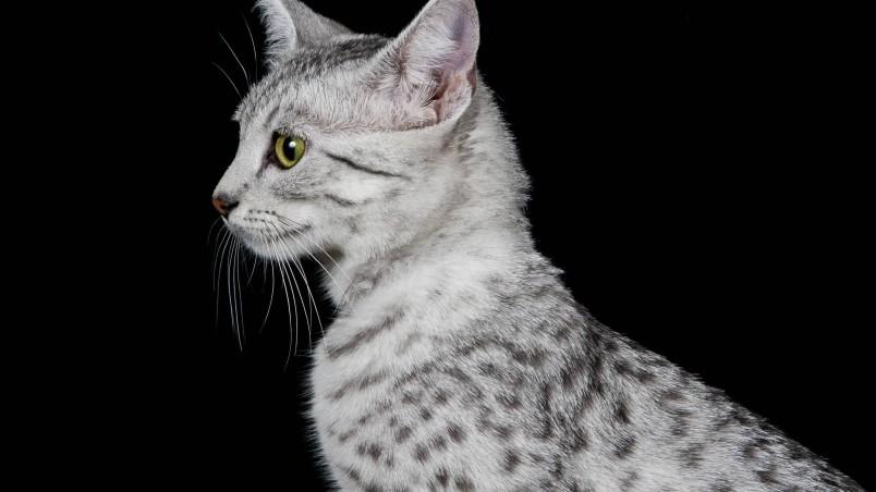 Create Animated Wallpaper Egyptian Mau Cat Profile Look Hd Wallpaper Wallpaperfx