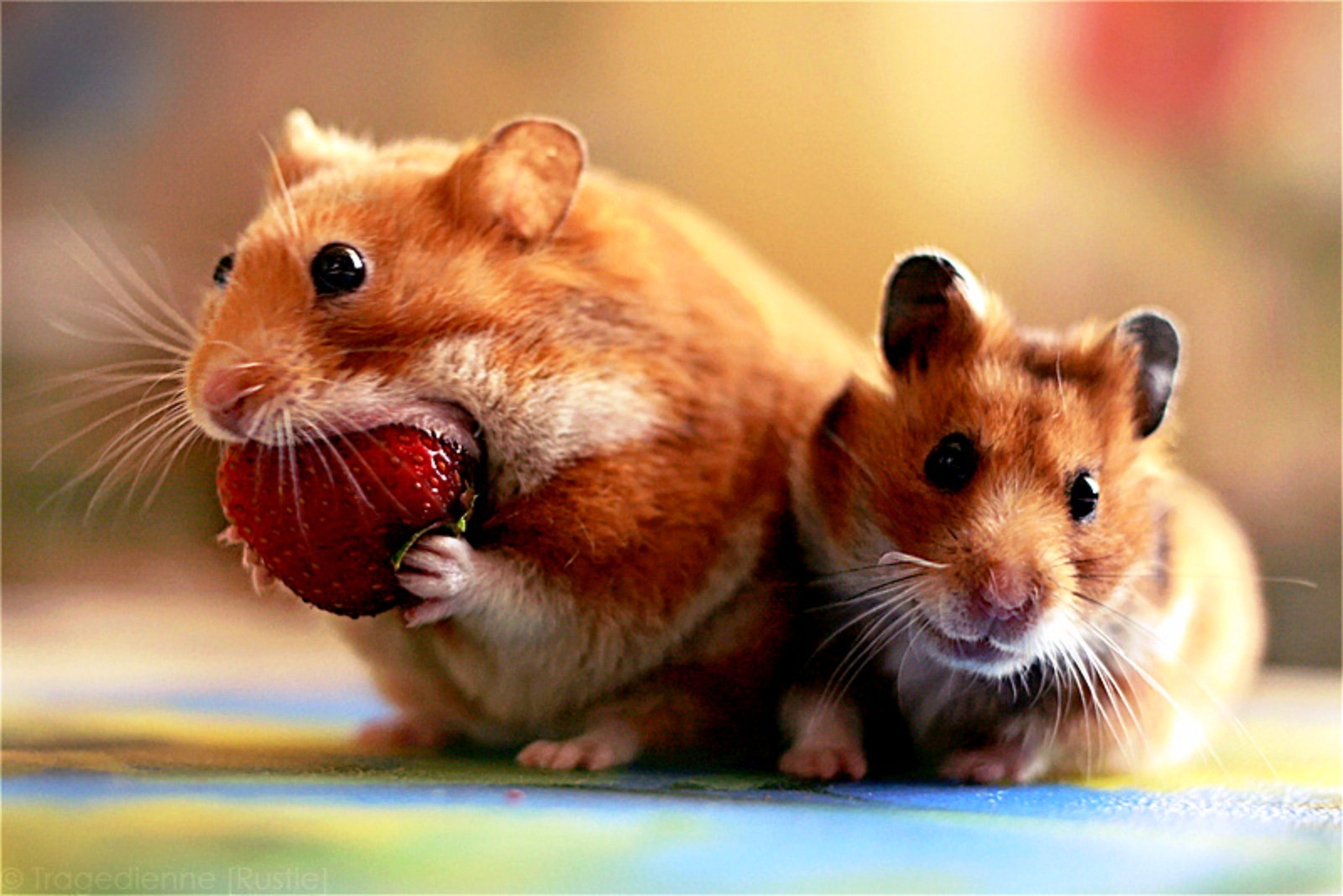 Cute Pet Animals Hd Wallpapers Hamster Vintage Style Funny Wallpaper Free Wallpaper