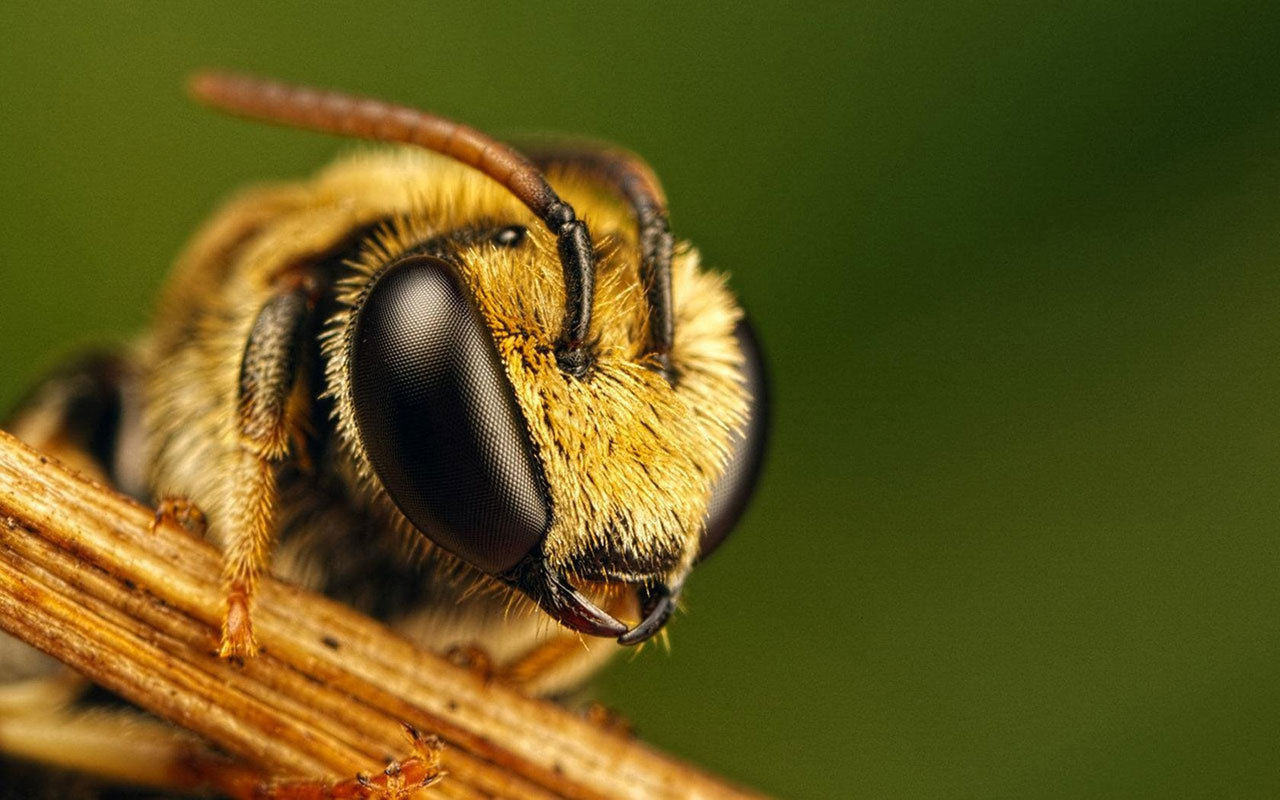Cute Fruit Wallpaper For Android Super Macro Bee Wallpaper Android Wallpaper Wallpaperlepi