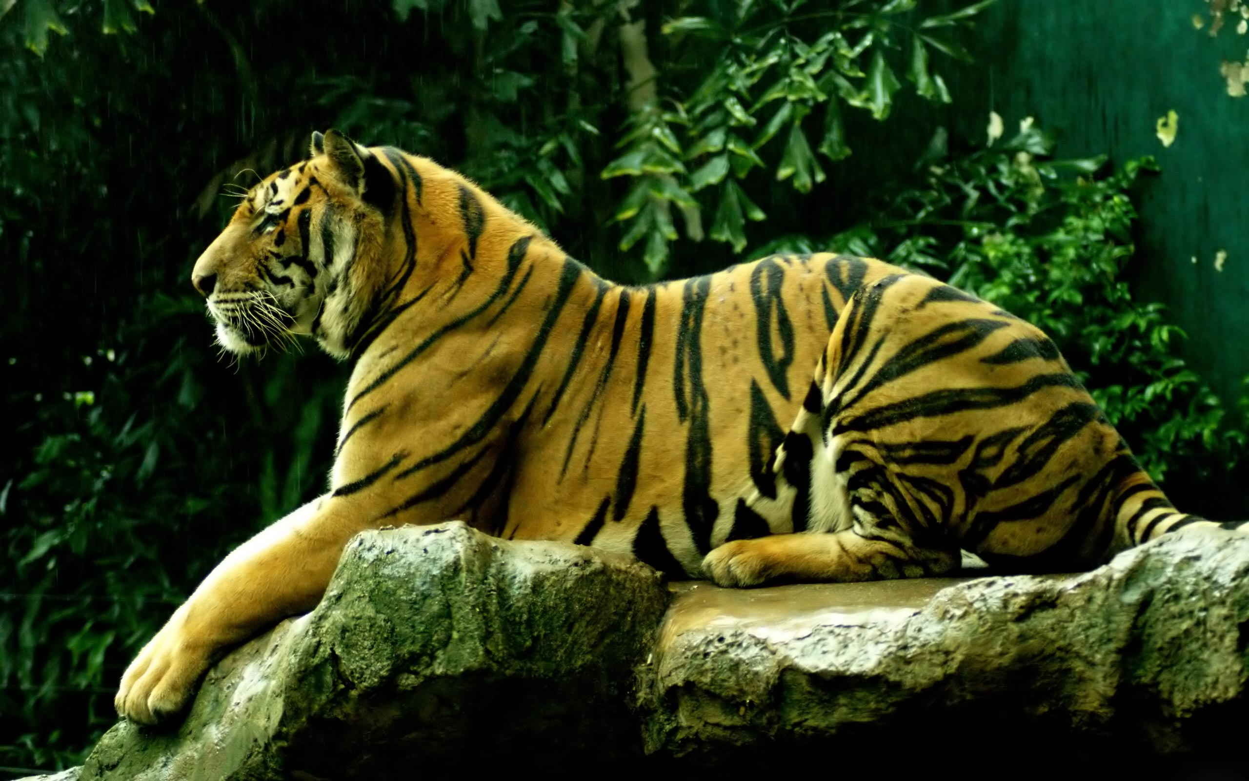 tiger relax hd image