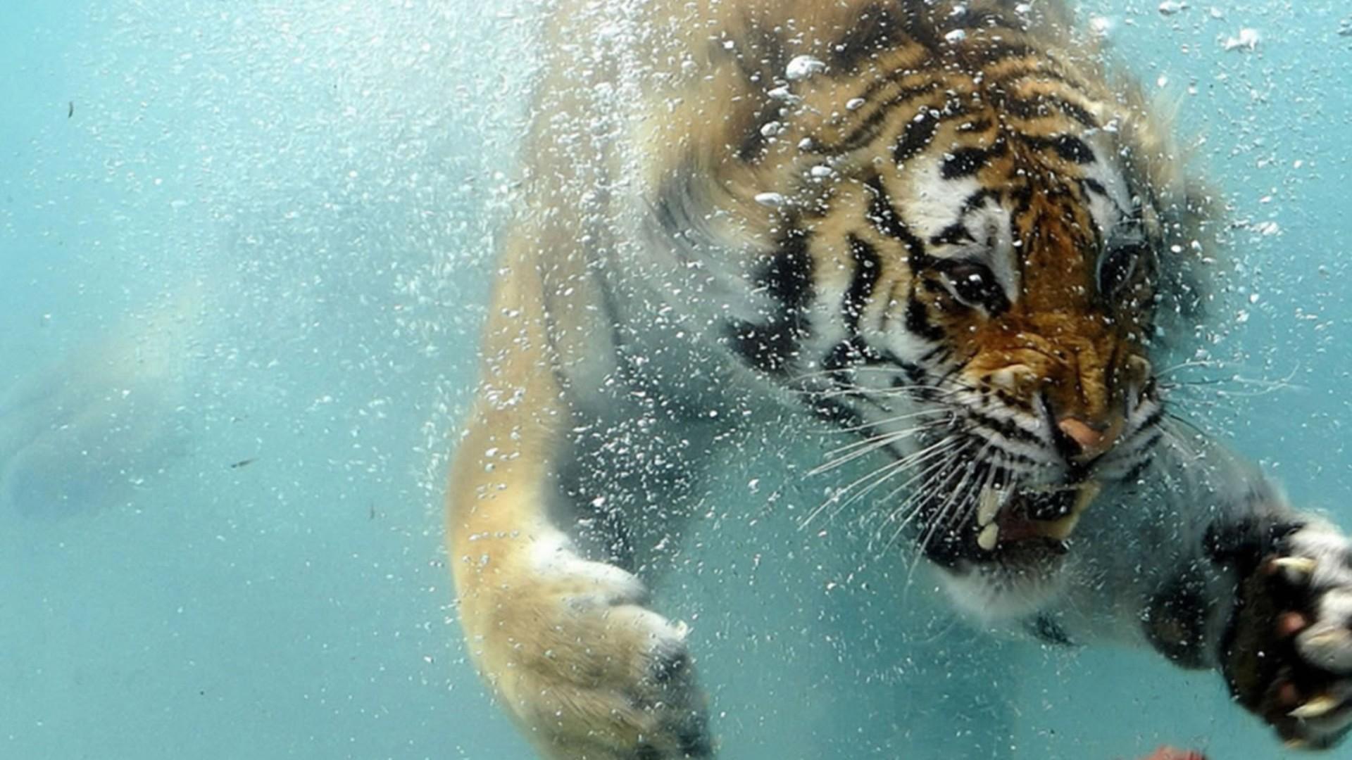 tiger underwater wallpaper wallpaper   wallpaperlepi