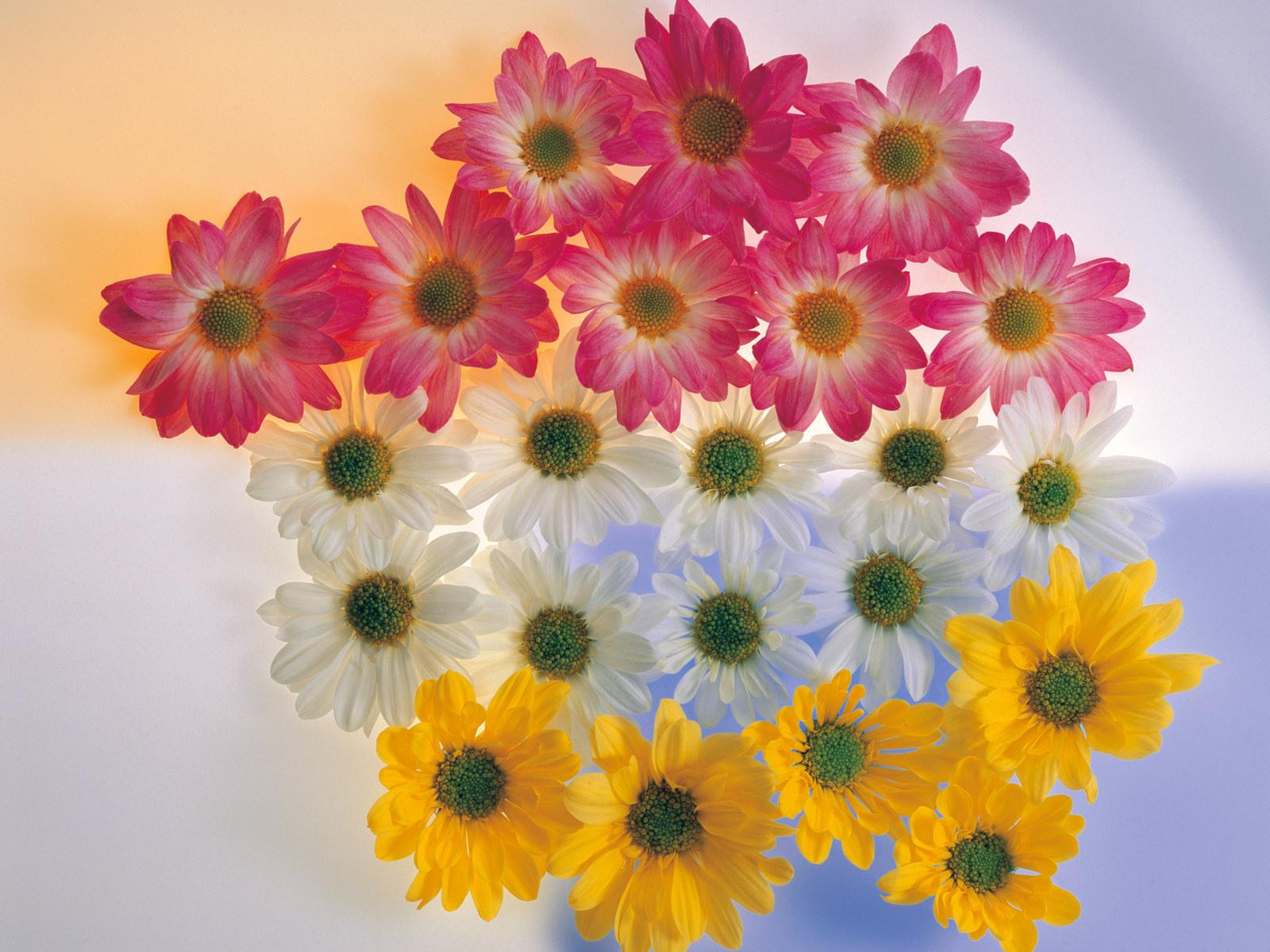 Fall Daisy Wallpaper Beautiful Flowers Hd Wallpapers Flower
